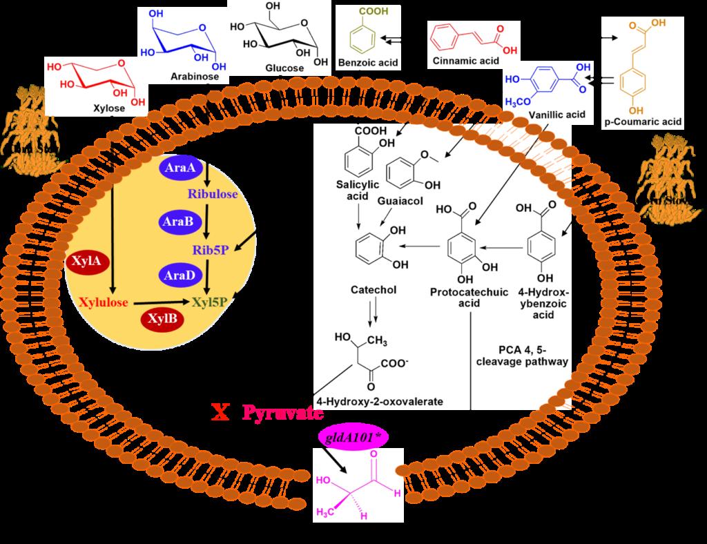 A chain reaction biology diagram